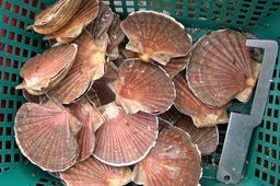 Stocks record de coquilles Saint-Jacques